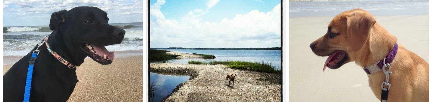 three pictures of dogs at the beach black lab on the left and a light brown colored dog on the right